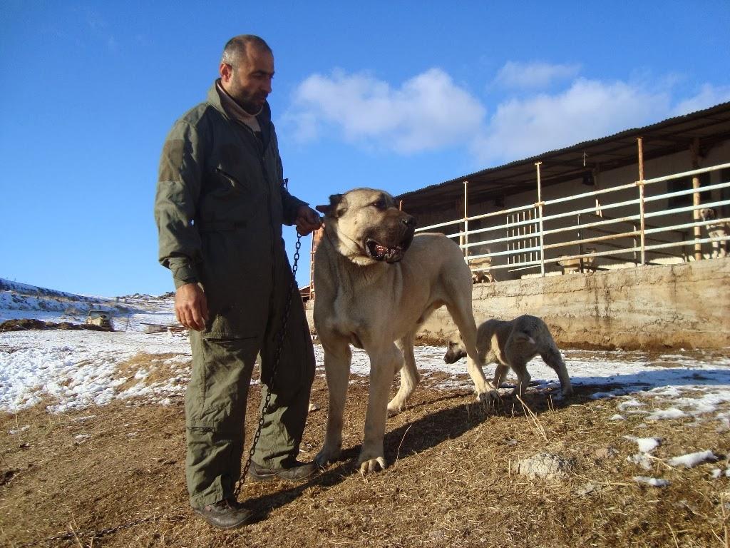 90 cm malaklı köpek