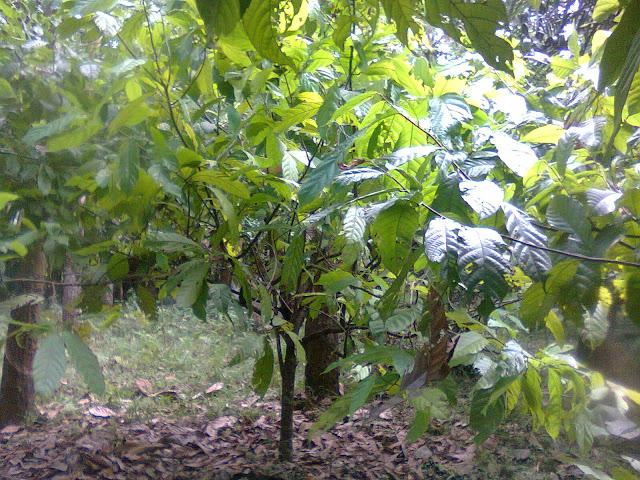Tanaman Kakao Di Kebun Yang Subur