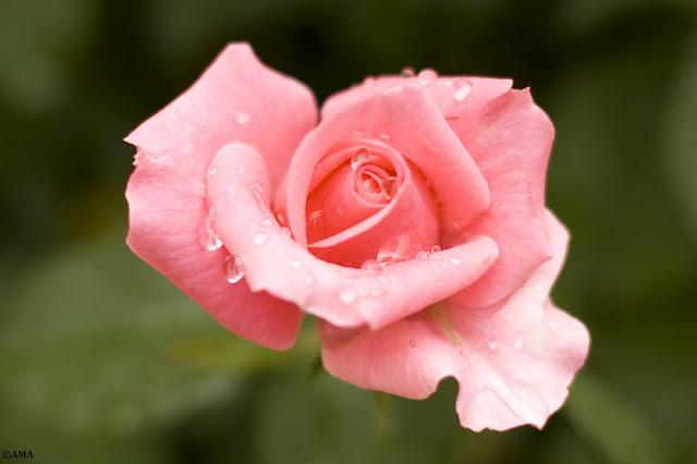 Trandafir Polyantha