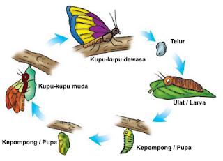metamorfosis kupu-kupu