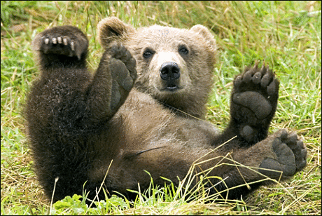Baby brown bear - photo#19