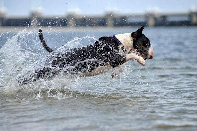 bull terrier en el agua