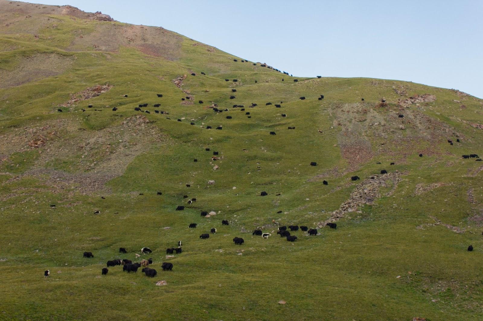 Кыргызские горы, Сон-куль, Яки
