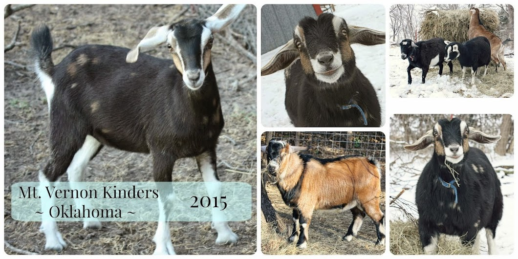 Kinder Goats in Oklahoma!
