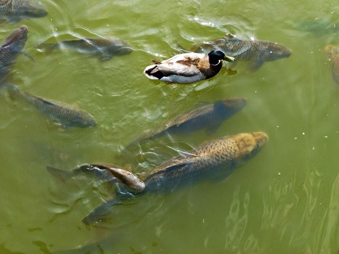 Fish, Bodiam Castle moat, wildlife, carp, mallards, ducks