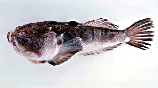 Artes de Pesca: VAMOS A PESCAR RATA PEZ
