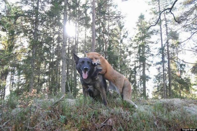 Sniffer and Tinni, a real life Fox and the Hound living in Norway (Photos)