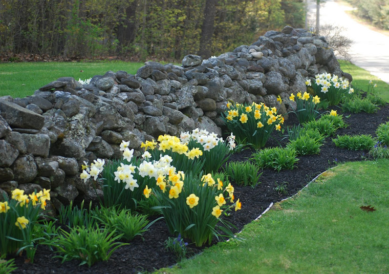 Image result for daffodils in new england