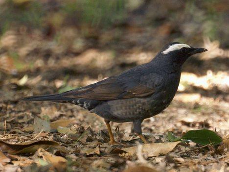 Ragam jenis burung Anis