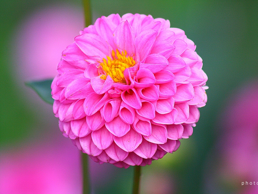 Wedding flowers dahlia flower 2012 new wallpapers dahlia flower in pink colour izmirmasajfo