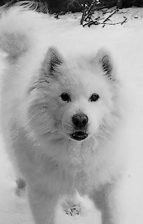 puppy white