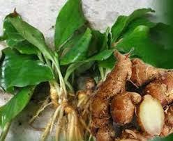Ramuan Herbal untuk Penyakit Gondongan