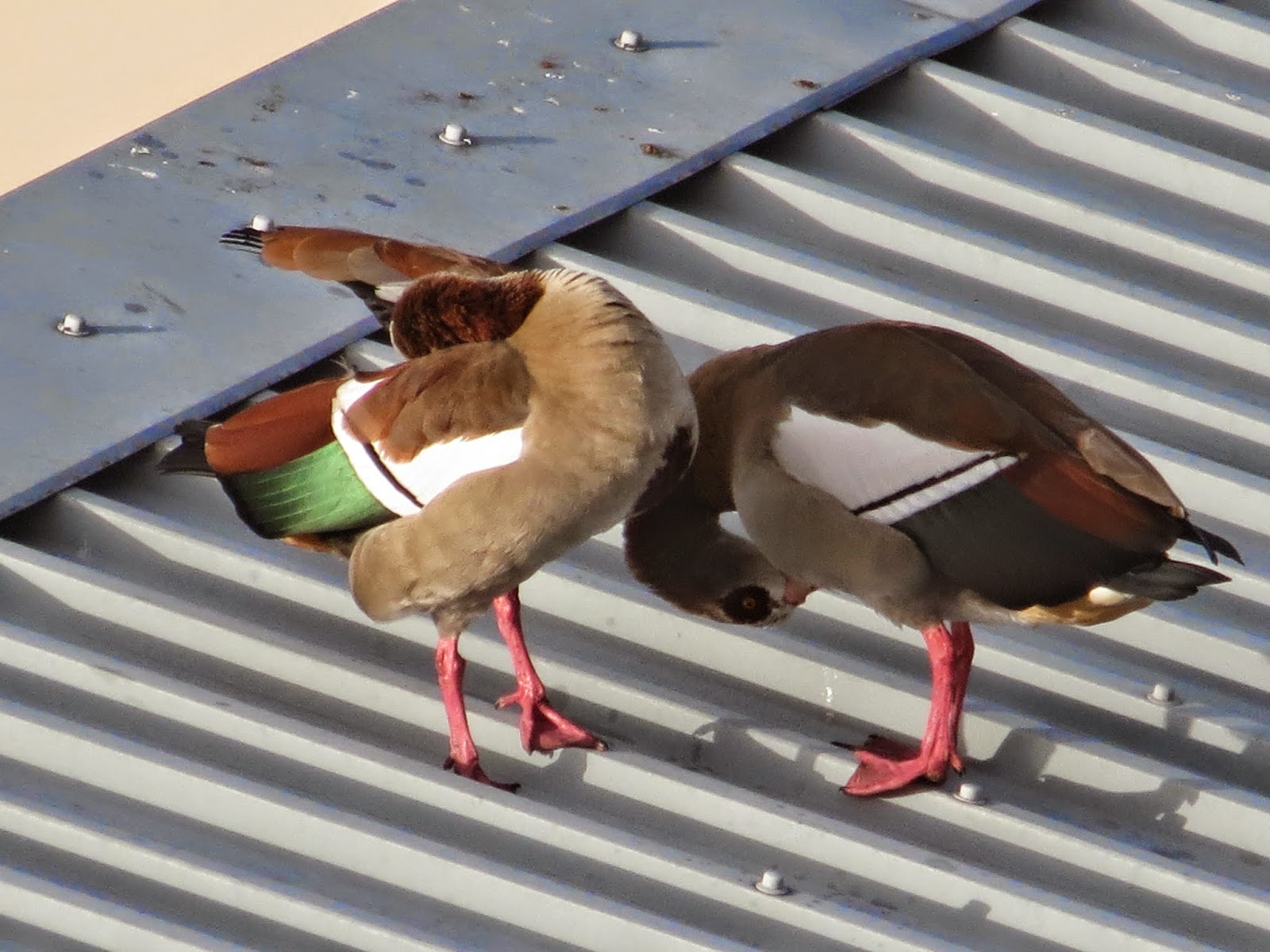 Egyptian Geese: Canon PowerShot SX40 HS Super (Digital) Zoom Demo