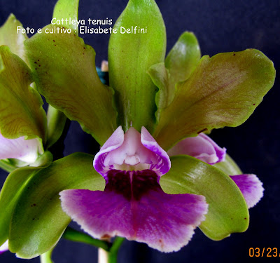 Cattleya tenuis do blogdabeteorquideas