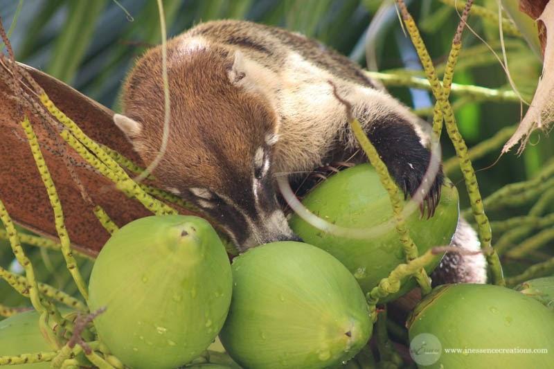White-nosed Coati - Quintana Roo, Mexico