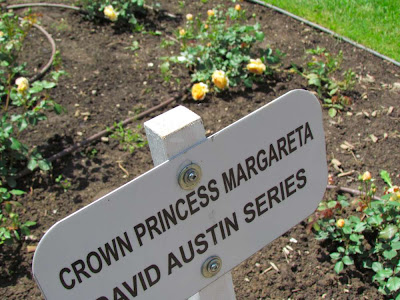 BRG Rose garden new addition David Austin Crown Princess Margareta yellow blossoms.