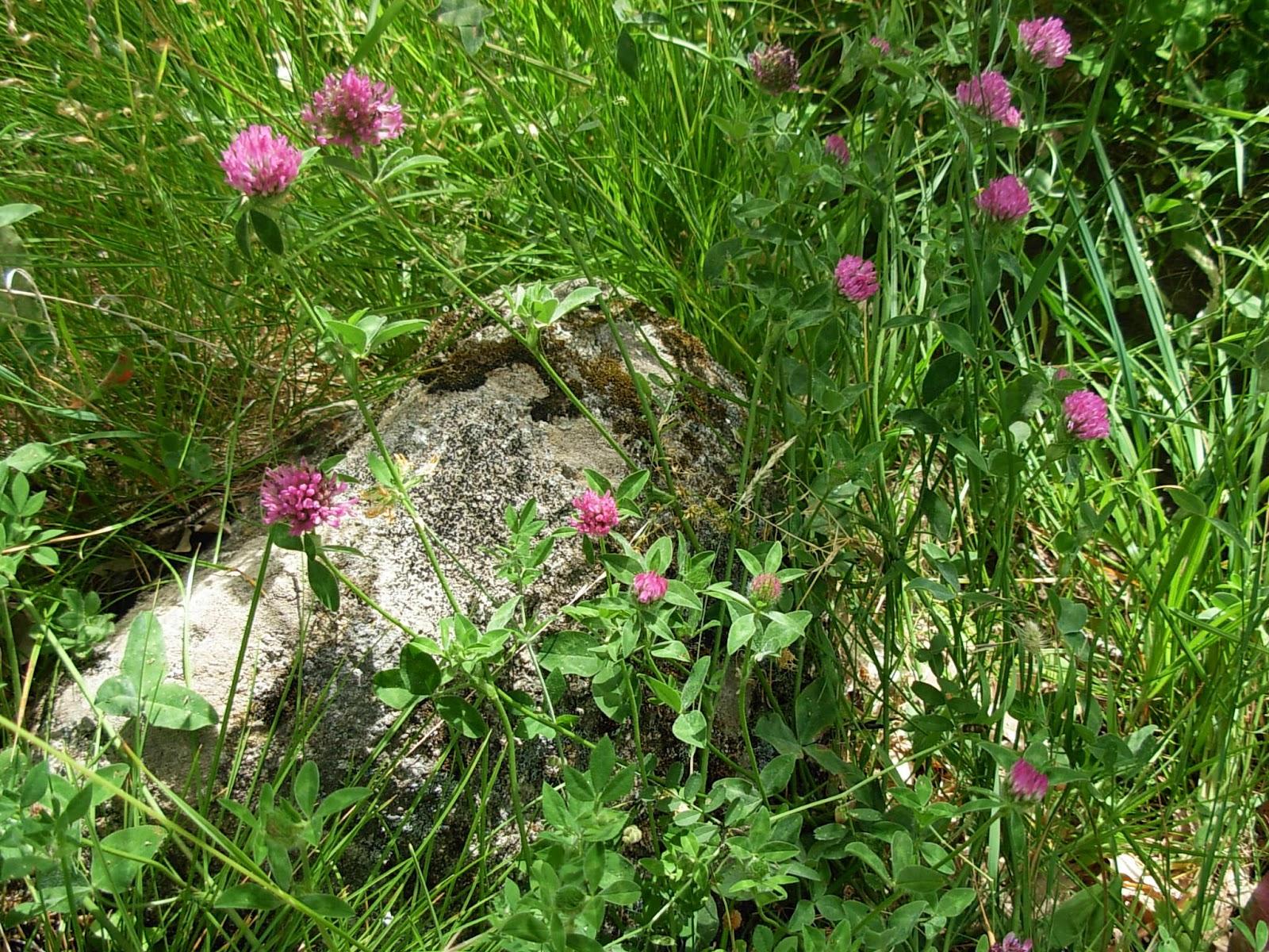 Plazuelanavaluenga: Trébol rojo o violeta (Trifolium pratense)