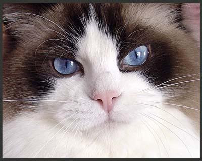 แมวแร็กดอลล์