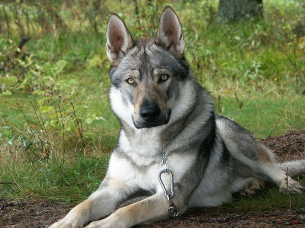 Big German Shepherds: Wolf German Shepherd Hybrid