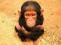 Primate triste pequeño