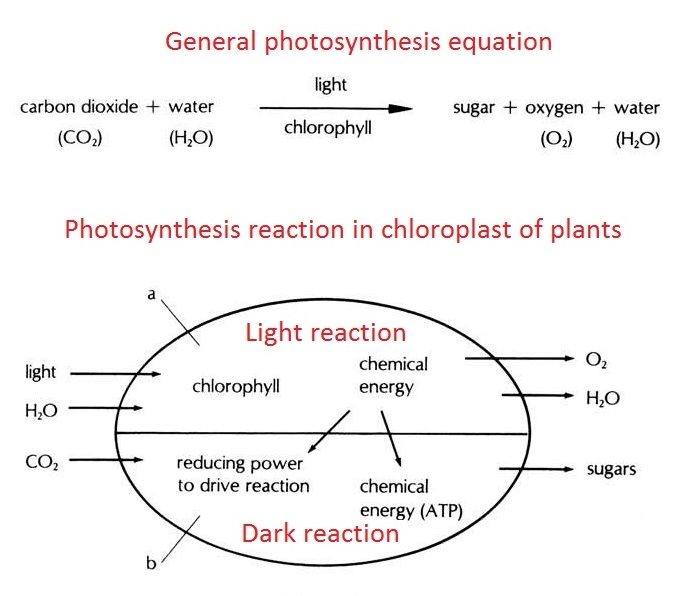Mechanism of photosynthesis super biology mechanism of photosynthesis ccuart Choice Image