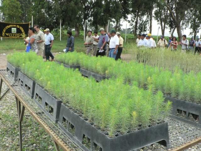 Lambayeque actual hongos comestibles for Construccion de viveros forestales
