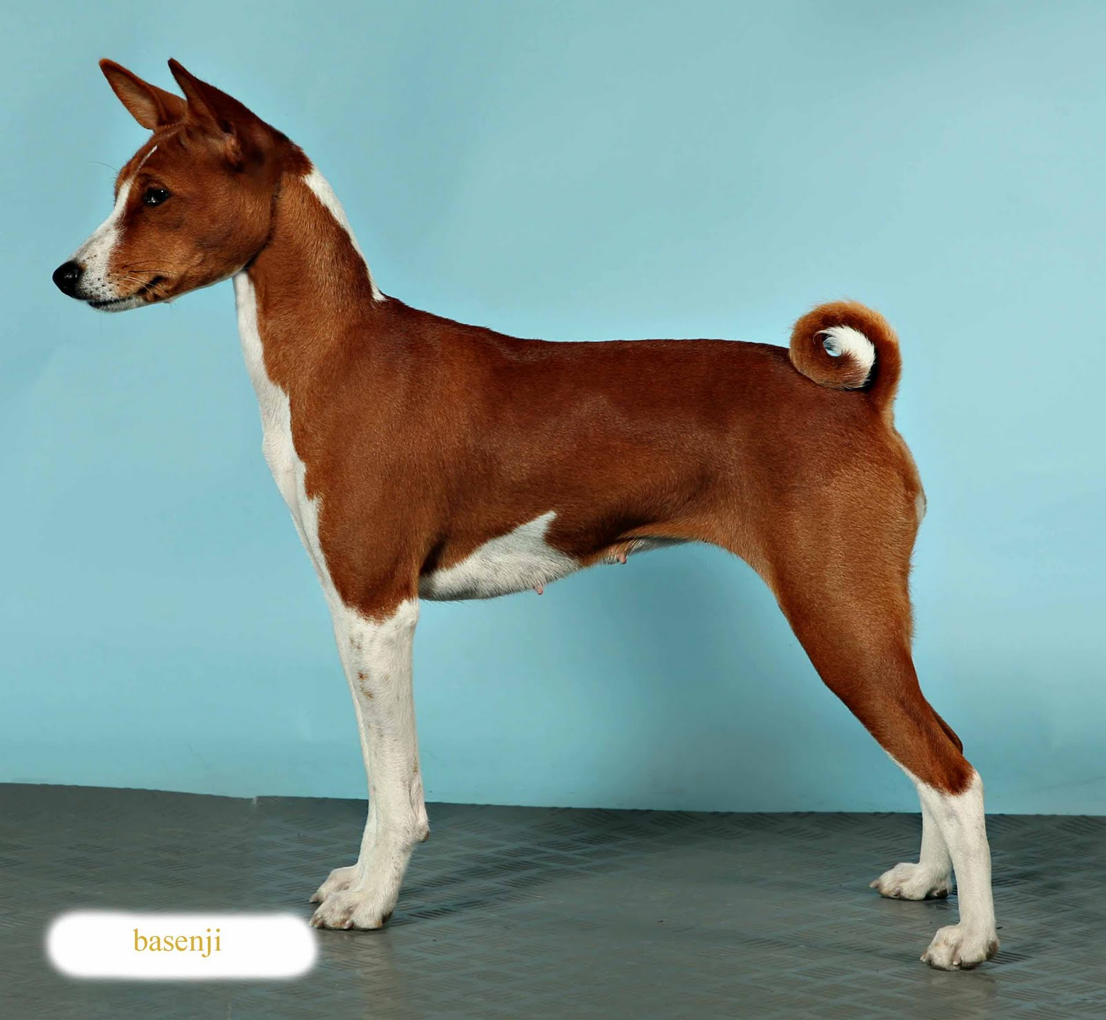 Dog Owners Guide Profile The Basenji  Looking For Dog