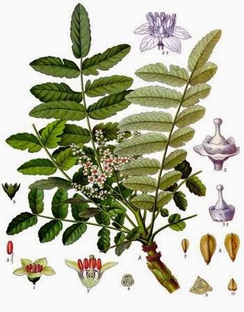 Boswellia plants