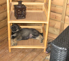 German Shepherd tucked away on a wicker shelf in a wooden shed