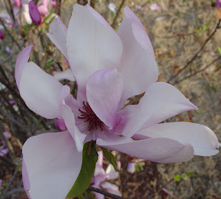 another flower from ann magnolia tree
