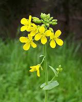 hardal otu bitkisi çiçeği