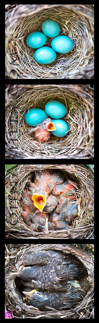One American Robin nest, from eggs to juveniles (c) John Ashley