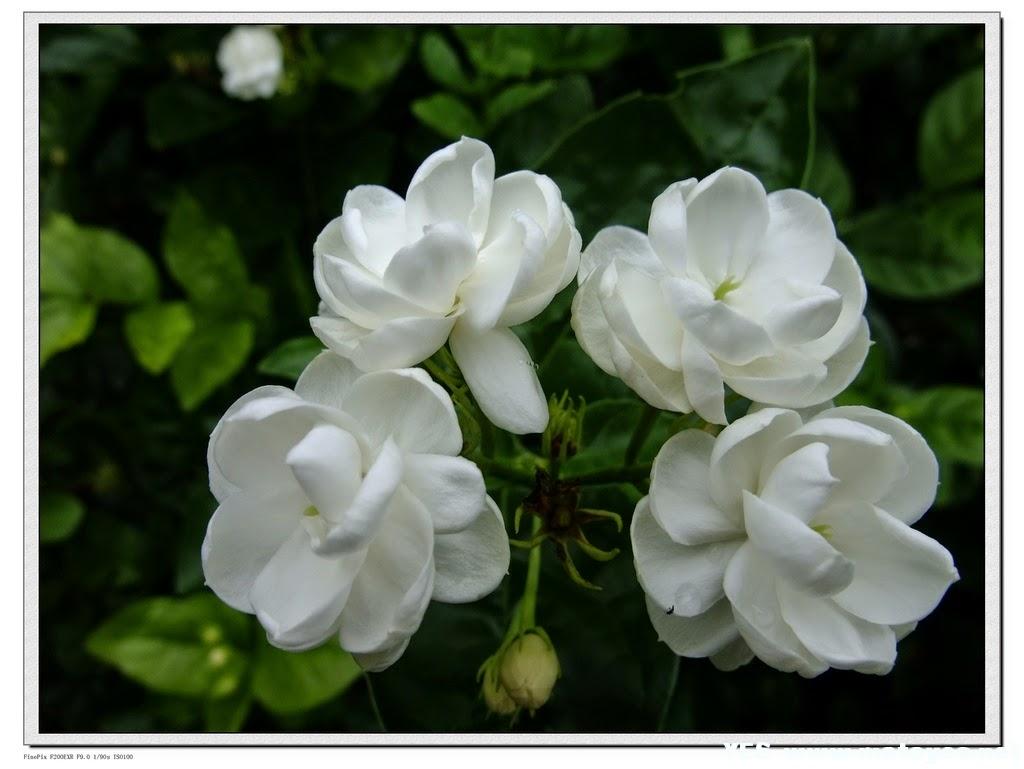Manfaat Bunga Melati Putih untuk Kesehatan
