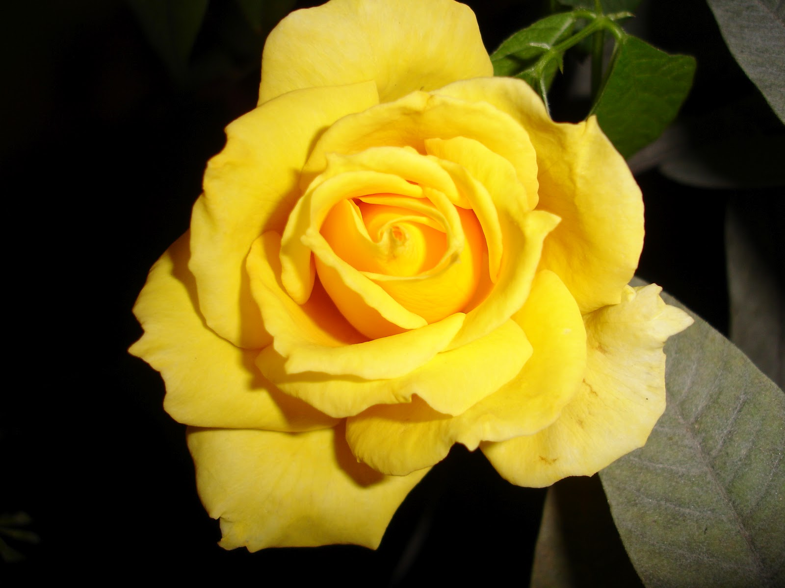 jardim rosas amarelas : jardim rosas amarelas:Que elas iluminem nosso andar, dia e noite.