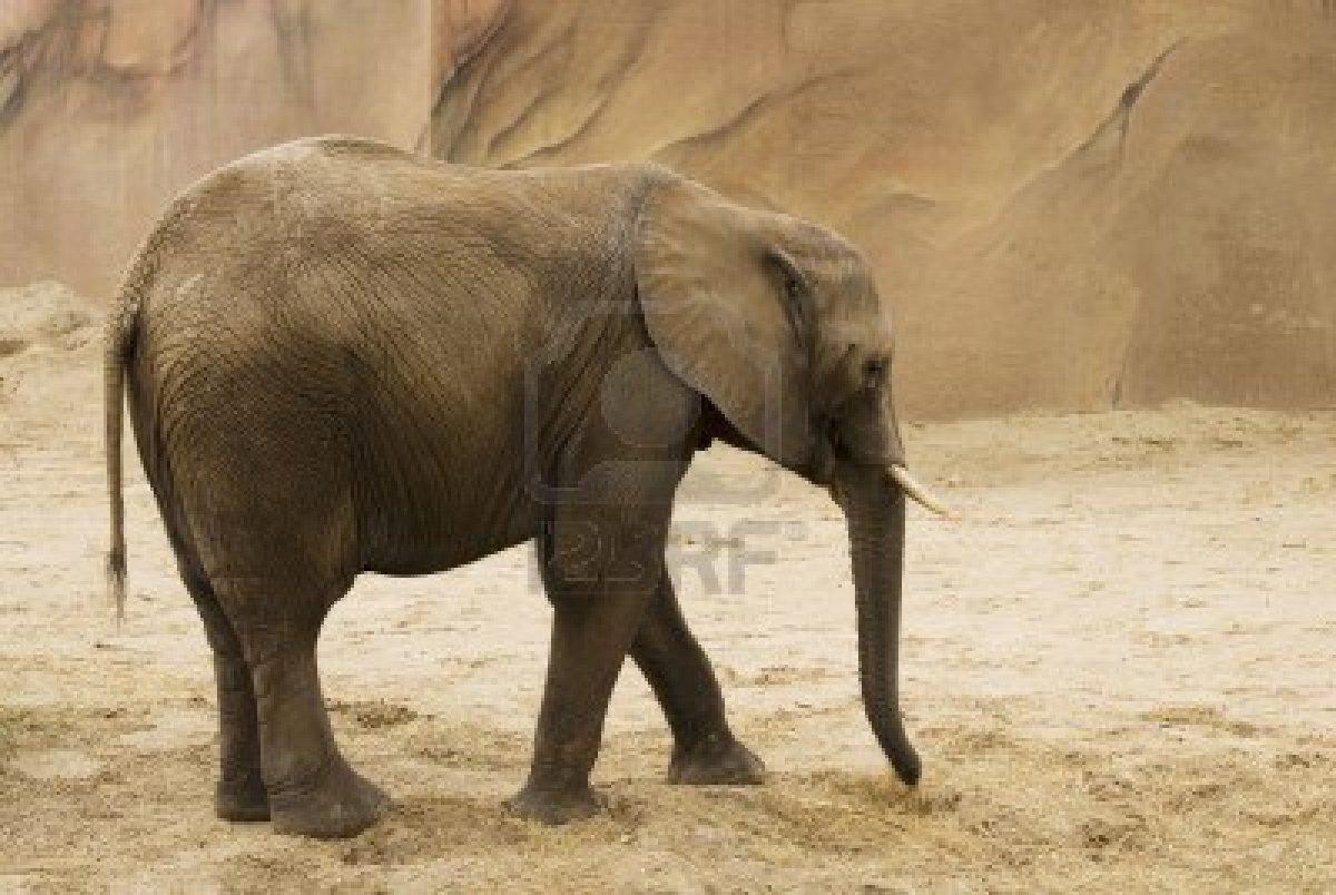 Descrizione elefante indiano - Elefante foglio di colore dell elefante ...