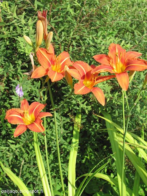 kesän loppu: päivänlilja