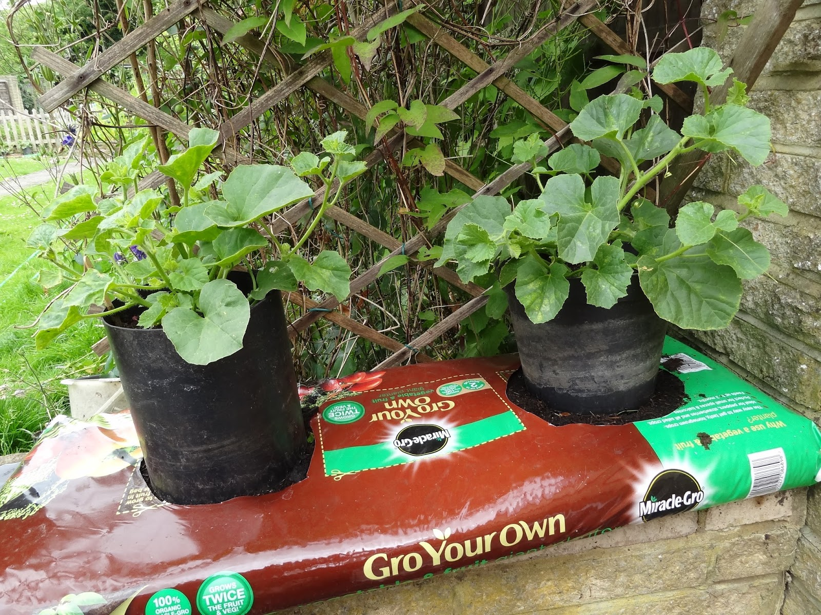 emejing planter melon en pot pictures. Black Bedroom Furniture Sets. Home Design Ideas