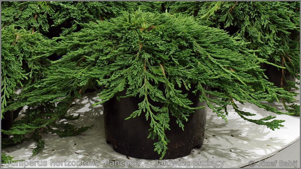 Juniperus horizontalis 'Pancake' -  Jałowiec płożący 'Pancake'