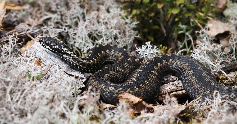 snake xenzia