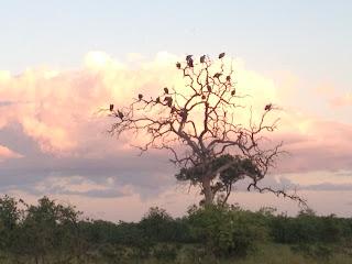Sinds de ochtend zitten er gieren in de bomen bij de ingang van het kamp en ruikt het naar een kadaver!