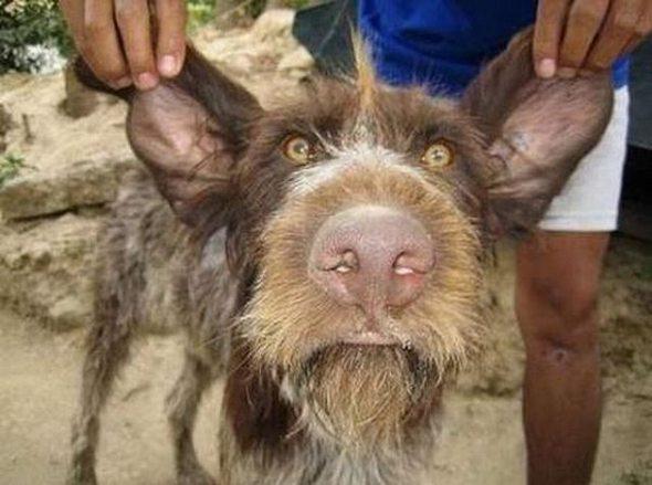 Koleksi gambar anjing yg paling hodoh(ugly dog)14foto
