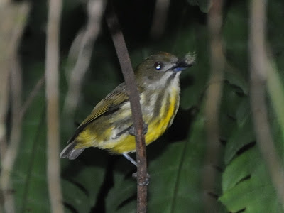 Yellow-breasted Flowerpecker (Dicaeum maculatus)