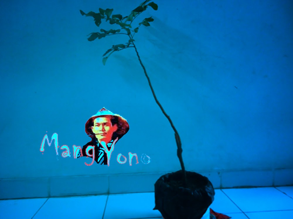 Cangkokan Pohon Lengkeng dari Purwokerto