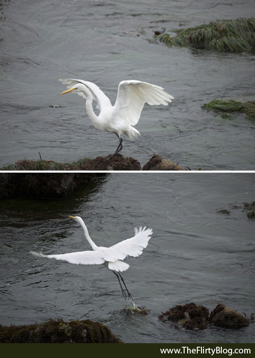 Flying Great White Heron