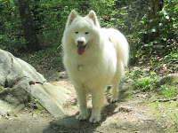 Kiko the Samoyed, Mascot of New England Pet Hospice