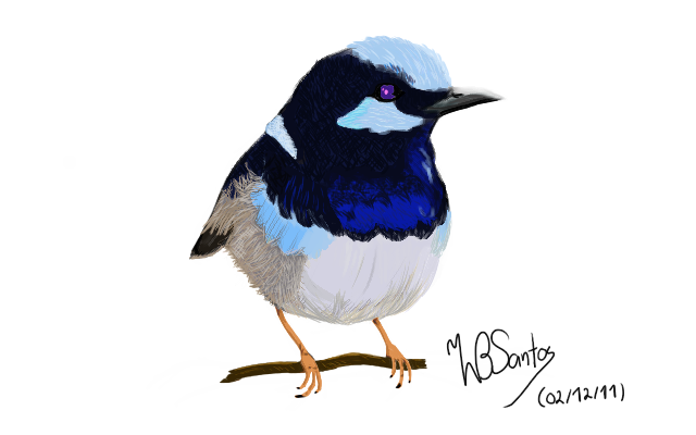 Superb Fairywren Bird