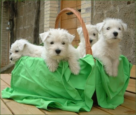 Funny animals funny cute westie dogs images pictures 2012 - Pictures of westie dogs ...