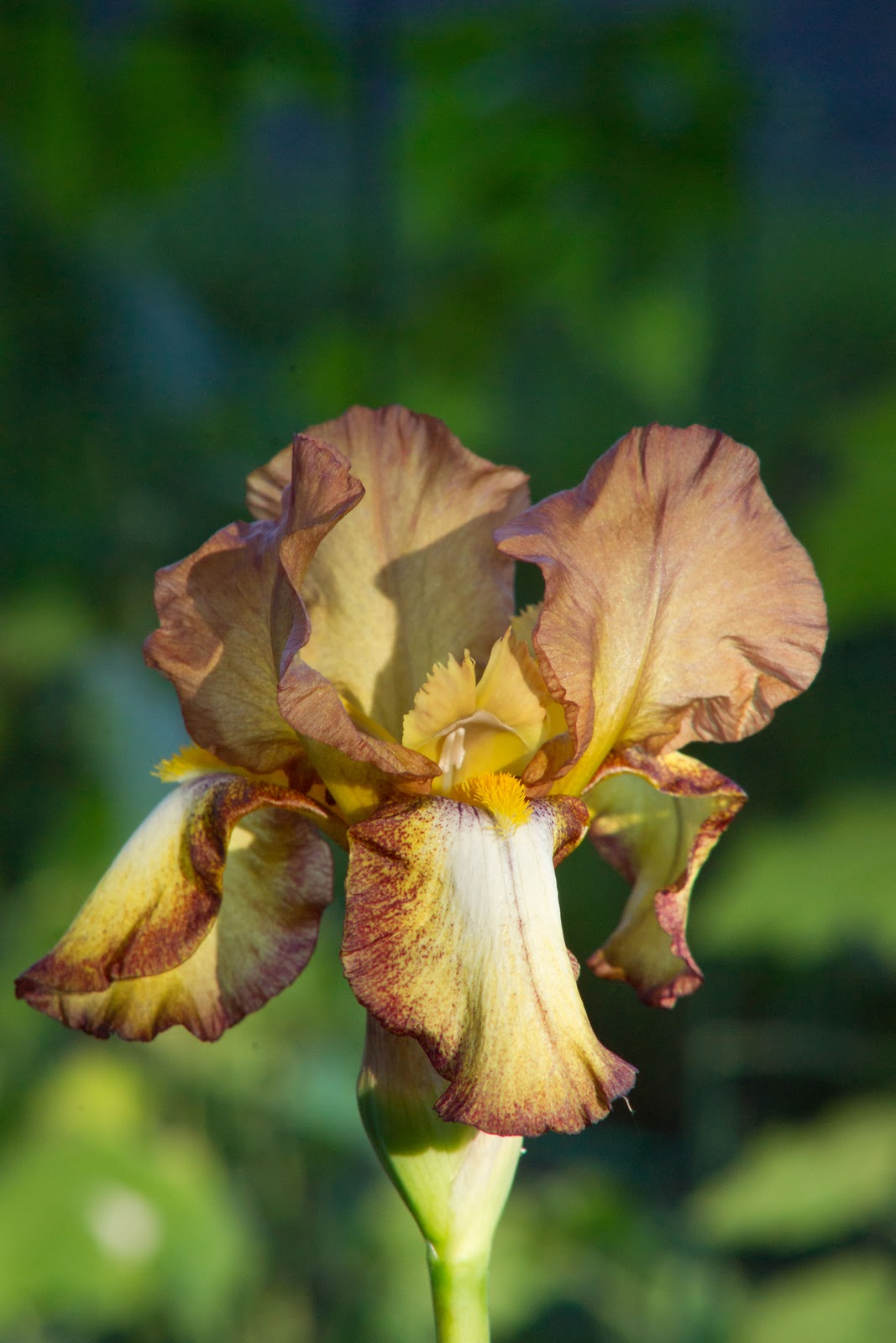Iris moi pr parer l t - Iris ne fleurissent pas ...