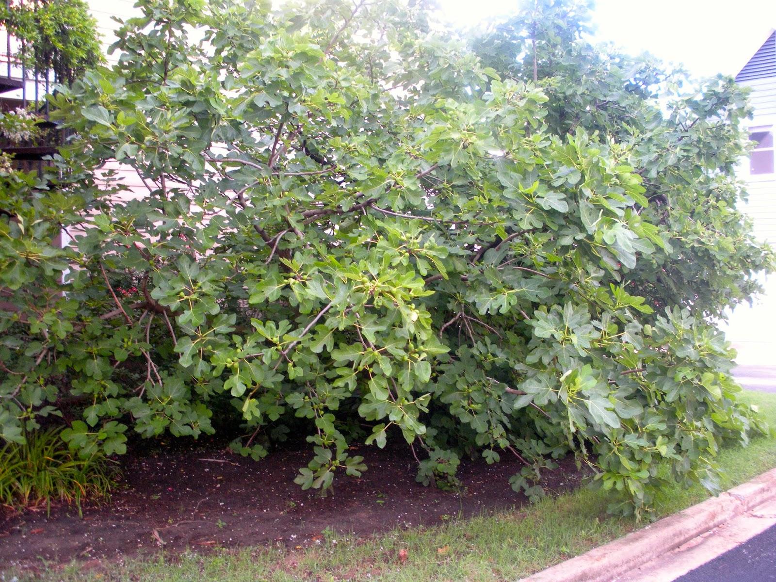Memphis trees summertime and the livin 39 is easy for Garden trees memphis