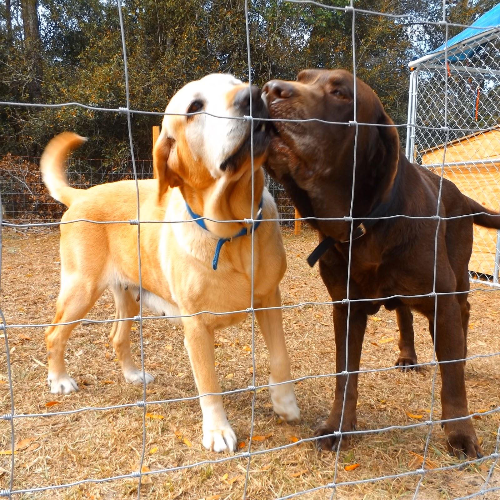 Can I Make Money Breeding Labrador Dogs